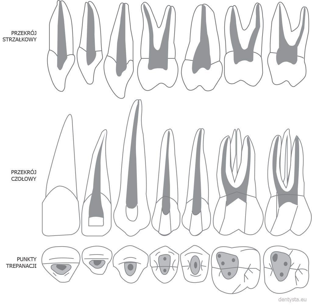 Kanały w zębach górnych